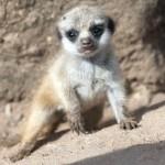 Baby Meerkat interested